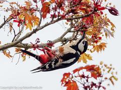 Great Spotted Woodpecker, (xrxss15) Tags: animalia animals aves badenwürttemberg birds buntspecht dendrocoposmajor europe germany greatspottedwoodpecker picidae stuttgart tiere universitätstuttgart vaihingen vögel woodpeckers male männlich