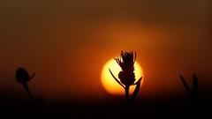 *** (pszcz9) Tags: przyroda nature natura zbliżenie closeup bokeh zachódsłońca sunset beautifulearth sony a77