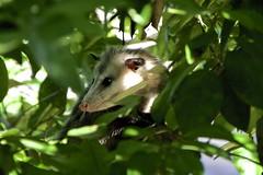 DSC_0064 (Laugia) Tags: opossum marsupial