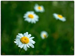 5 prestekrager (Krogen) Tags: norge norway norwegen akershus romerike ullensaker jessheim blomster flowers prestekrage krogen panasoniclumixgx7 mitakonspeedmaster f095