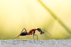 Migres 2018 -1 (Cositos :)) Tags: wasp avispa himenoptero hormiga ant yaws mandíbulas macro insect insecto sigma 105mm nikon d3300