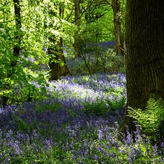 Tread gently (peckhamryecrow) Tags: bluebell dappledlight deciduous durham hnonscripta landscape peckhamryecrow spring timgreen woods greathighwood explored blue limegreen