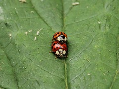 Ladybirds (Wildlife Terry) Tags: sandbach cheshire cheshirecountryside wildlifeandnature cheshireamateurphotography 30dayswild