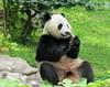 Bei Bei (sniff test) (heights.18145) Tags: visitthezoo national zoo washingtondc animals pandas fun cute bamboo beibei tiantian meixiang