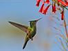 Antillean Crested Hummingbird (Orthorhyncus cristatus) (Jeluba) Tags: 2006 antilleancrestedhummingbird antillenhaubenkolibri canon colibrihuppé martinique orthorhyncuscristatus aves bird birdwatching nature oiseau ornithology wildlife horizontal jeluba jeanlucbaron