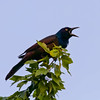 Grackle that likes to heckle! (Mike Matney Photography) Tags: 2018 canon eos7d grackle illinois june midwest troy bird birds nature wildlife