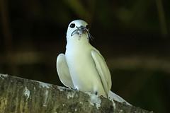 Gygis alba (Fairy Tern) - Seychelles (Nick Dean1) Tags: gygisalba fairytern charadriiformes tern seychelles birdisland indianocean seabird thewonderfulworldofbirds birdperfect birdwatcher animalia chordata aves
