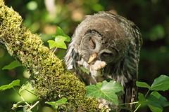 06182018Barred Owl FU5A5601 (Steven Arvid Gerde) Tags: barred owl