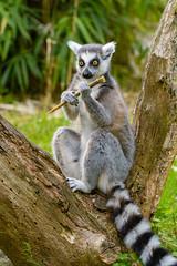Lemur (Mathias Appel) Tags: nikon d7100 100400mm madagaskar madagascar lemur lemurs animals animal tier tiere nature natur bokeh zoo tierpark germany fur fell eye eyes cc0 public domain endangered sigma
