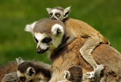 Lemurs (8) (Simon Dell Photography) Tags: lemurs playing with old box egg yorkshire wildlife park doncaster uk england spring day images high res animals zoo captive rare wild life simon dell photography tog 2018 may sunny cute babys young lots funny awesome