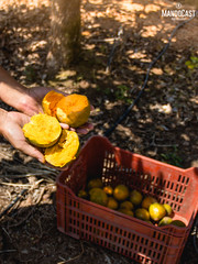Lucuma harvest time! Our Peruvian superfood (Mando Cast) Tags: azul lucuma fruits fruit harvest fields cosecha campo superalimento superfoods superingredients land earth beautiful food different exotic peru peruvian south america nature naturaleza tree work photoshoot mandocast mandocastphotography mandocastphoto armandocastanon yellow natural lima cañete sun sunlight daylight light day summer artdirection rustic rural dreamy organic view product raw looking life leaves orange fresh warm
