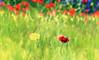 (292/18) Saturación plena (Pablo Arias) Tags: pabloarias photoshop photomatix capturenxd españa cielo nubes hierba flor amapola campo saturación paracuellosdejarama madrid