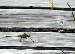 Libellule déprimée ♂ (jean-daniel david) Tags: insecte insectevolant planche bois libellule libelluledéprimée gris bleu nature grandecariçaie lac lacdeneuchâtel yverdonlesbains cheseauxnoreaz suisse suisseromande vaud