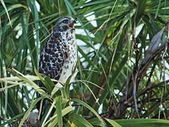 Red-shouldered Hawk juvenile 20180603 (Kenneth Cole Schneider) Tags: florida sharkvalley evergladesnationalpark