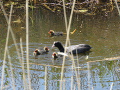 Coot and family (Lucy and Jim Birding Adventures) Tags: coot waterfowl chicks wildlife nature uk birds rainham marshes