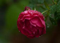 Rose after the rain (tobi911) Tags: 2018 jun red rose flower rain waterdrop