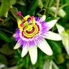 passiflora (brunolabs) Tags: passiflora passion fruit maracujá saturation mobile color square