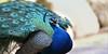Blauer Pfau/Blue Peacock (babsbaron ( Bella )) Tags: nature tiere animals vögel vogel birds pfau peacock blau blue canon eos wildpark lüneburgerheide hühnervögel fasanenartige