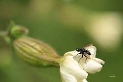 1N6A4865 ( UNIXetvous ) Tags: mouche insect fly bokeh