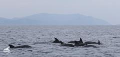 Grupo de delfines comunes (AMB_6396-2-2) (AMBAR Elkartea) Tags: ambar grupo delfín delphinus proa jugar acrobacia cetáceos mamíferos avistamientos hegaluze ekoetxea urdaibai bermeo voluntarios socios costa bizkaia biodiversidad odontoceto aletas