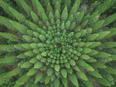 Trees from the top - found the trees by google satellite map (FollowingNature (Yao Liu)) Tags: californiaforest southlaketahoe nationalforest forestry forest nelder nelderplot symmetricaltrees googlemap satellitemap drone star followingnature eldoradonationalforest trees circle nelderwheel
