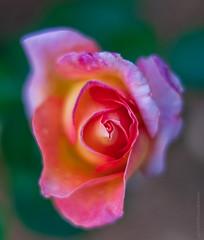 Rose Rainbow Sherbet Zeiss 50 ZA (www.mikereidphotography.com) Tags: rose roses bokeh flower flowers dof zeiss 50mm sony a7r2 macro petals