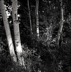 Evening light (Danny Jim) Tags: trees blackandwhite monochrome mamiyac220 gp3film