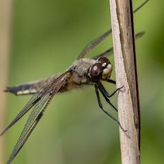 Libellula quadrimaculata (Ouwesok) Tags: canoneos80d sigmaapo35180mmaf libellulaquadrimaculata viervlek libel insect woldlakebos