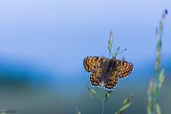 Aurore (christophe.perraud.44310) Tags: butterfly papillon aurore drawn macro closeup