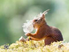 red squirrel is holding dandelion seeds (Geert Weggen) Tags: change dandelion nature wind springtime newlife freedom aspirations lifestyles luck flower wishing backgrounds concepts allergy summer pollen individuality dandelionseed season time environmentalconservation greencolor sunlight field nopeople seed flying enjoyment fragility meadow environment growth morning photography blossom seedling uncultivated weeding freshness beautyinnature copyspace horizontal plant midair plantstem redsquirrel squirrel animal geert weggen ragunda sweden jämtland bispgården