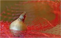 Too late, too late ................ to bloom this year ? (jesse1dog) Tags: macromondays transportation bulb tulipbulb red mesh bag meshbag plasticmesh gm1 jupiter9 russian 85mm extensiontubes tabletop bokah