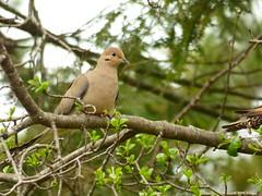 Mourning Dove (loveshobbits25) Tags: bird birds backyardbirding mourningdove dove pigeon