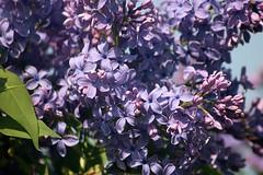 Lilacs Blooming In Front Yard 010 (Chrisser) Tags: flowers lilacs shrubs syringavulgaris oleaceae nature ontario canada canoneosrebelt6i canonef75300mmf456iiiusmlens gardening garden fourseasons spring closeups