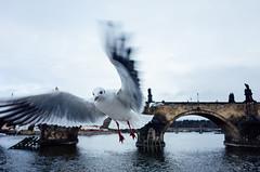 birds (Philip@Tamsui) Tags: hlavníměstopraha 捷克 praha czech ricoh grdigital grd grii 布拉格 birds 鳥 河邊 河流 river