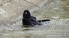 a crow taking a bath (5/9) : Stop filming (Franck Zumella) Tags: carrion crow corneille branch branche tree arbre black bird noir oiseau bath bain clean cleaning nettoyer propre