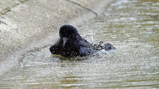 a crow taking a bath (4/9) : splash splash splash