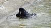a crow taking a bath (4/9) : splash splash splash (Franck Zumella) Tags: carrion crow corneille branch branche tree arbre black bird noir oiseau bath bain clean cleaning nettoyer propre