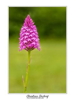 Un orchidée sauvage