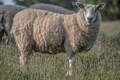 DSC_0026 (maxpinaud) Tags: devon uk nature landscape animals sheep