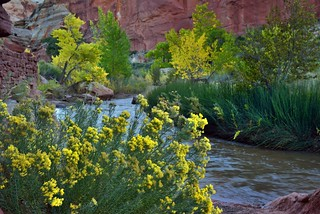 Flowering Yellow Plants Along the Shores of the Fremont River (Capitol Reef National Park)