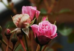 DSC_2479 (PeaTJay) Tags: nikond70s reading lowerearley berkshire macro micro closeups gardens outdoors nature flora fauna plants flowers rose roses rosebuds