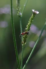 Ant & Verbena (bamboosage) Tags: macro yashinon 28 ƒ60mm tomioka preset m42 11macro
