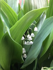 Lilies of the valley (stacyinil) Tags: nature flowers