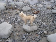 Clanashee Seaside Trip - Toby the dog- 04-06-2018 (Lord Inquisitor) Tags: clanashee2018 clanashee seaside beach toby dog pet animal white rock hair seaweed