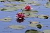 Fiori di Loto (francescociccotti1) Tags: fiori loto giardino giappone kyoto viaggi turismo sollevante greatphotographers
