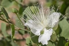 Caper (Capparis sp.) צלף קוצני (Ron Winkler nature) Tags: caper capparis צלף קוצני flower plant nature flora negev israel asia desert canon 100400ii