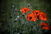 Poppy 2 (Rene_1985) Tags: sony a7 ii ilce voigtländer closefocus leica noctilux 50mm 095 summer sommer mohn poppy blume flower bokeh dof