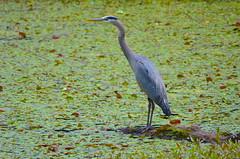 Yet Another Heron Photo (Neal D) Tags: bc abbotsford fishtrapcreekpark bird heron greatblueheron ardeaherodias