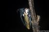 photo-2257414.jpg (GeeC) Tags: animalia arthropoda cambodia hemiptera insecta kohkongprovince membracidae membracoidea nature nightwalk rainbowlodge tatai treehoppers