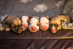 2018-06-05 (annamarias.) Tags: dog pet animal mammal puppy pups puppies pup sweet cute adorable